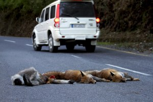 1343919803red_fox_multiple_roadkill_nainital_001