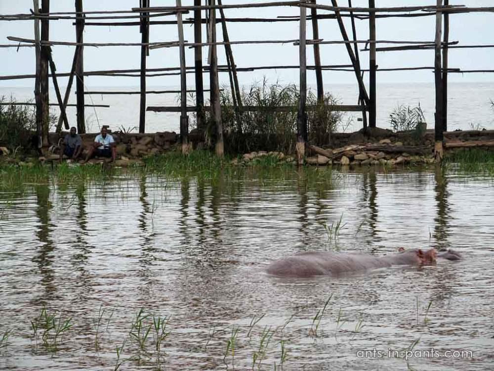 Hippos in Taganyika
