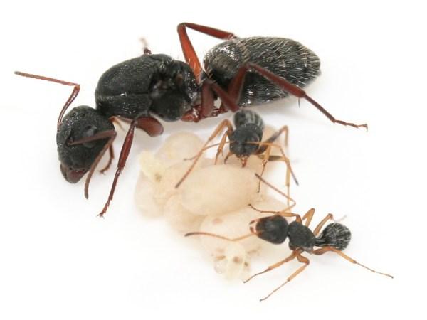 Camponotus Flavomarginatus (Carpenter Ant) - Ants South Africa
