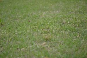この芝地で4匹を採集した