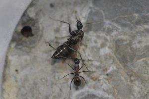 自分の巣の働きアリから攻撃を受ける雄アリ