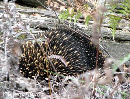 Kolczatka (echidna), Australia