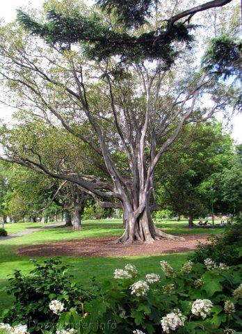 Melbourne, Fitzroy Gardens, fikus