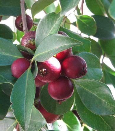 Guawa w naszym ogrodzie, guawa truskawkowa
