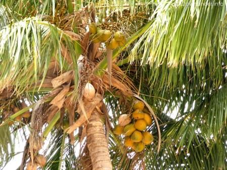 Palma kokosowa, Wyspa Magnetyczna, Australia