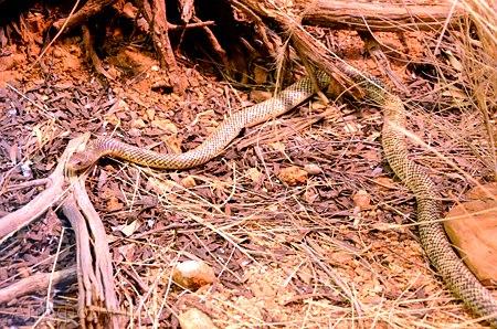 mulga, king borwn, wąż australijski