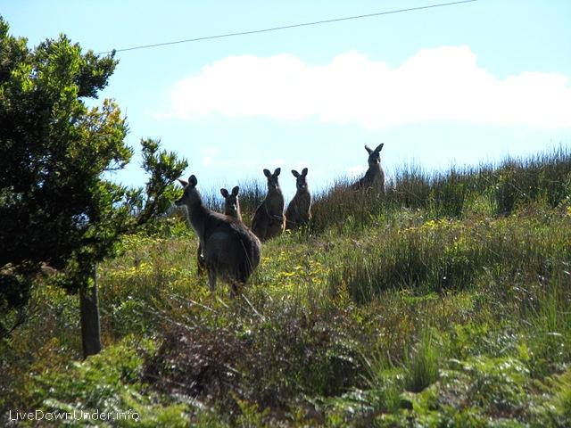 kangury szare
