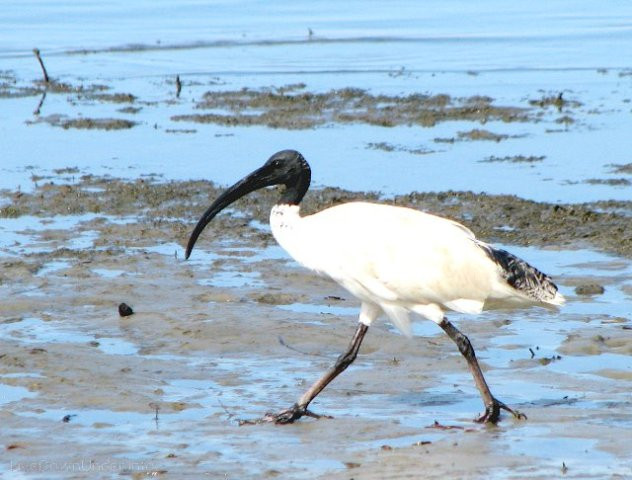 ibis, Australia