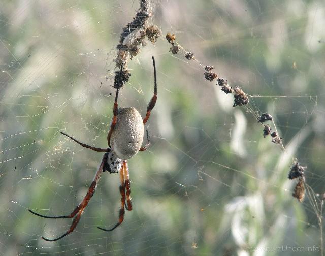 Prządka jadalna, Nephila edulis, pająk