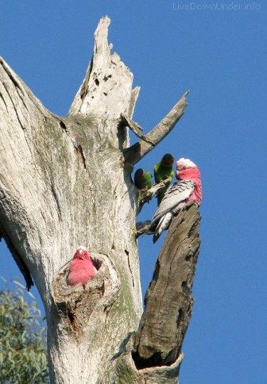Jesień w Australii, Jells Park, Melbourne, papugi galah