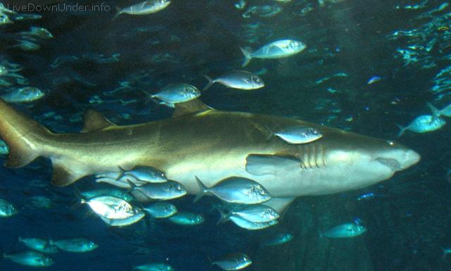 Rekin w Akwarium w Melbourne
