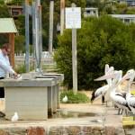 Mallacoota i pelikany