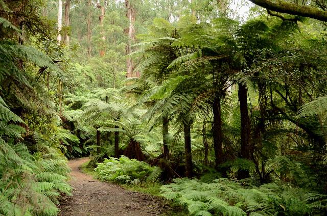 paproć drzewiasta, Badger Weir, Yarra Ranges National Park, Wiktoria, Australia