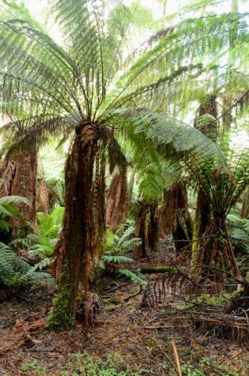 paprocie drzewiaste, Badger Weir, Yarra Ranges National Park, Wiktoria, Australia