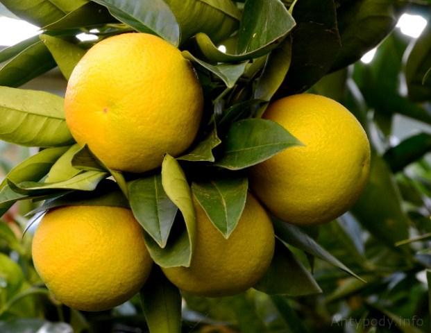 pomarańcza w ogrodzie, zima w Australii