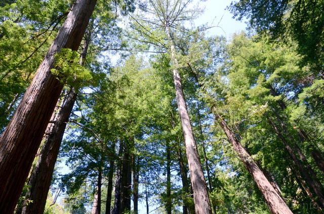 Sekwoja wieczniezielona, redwood, Big Sur, Kalifornia, USA