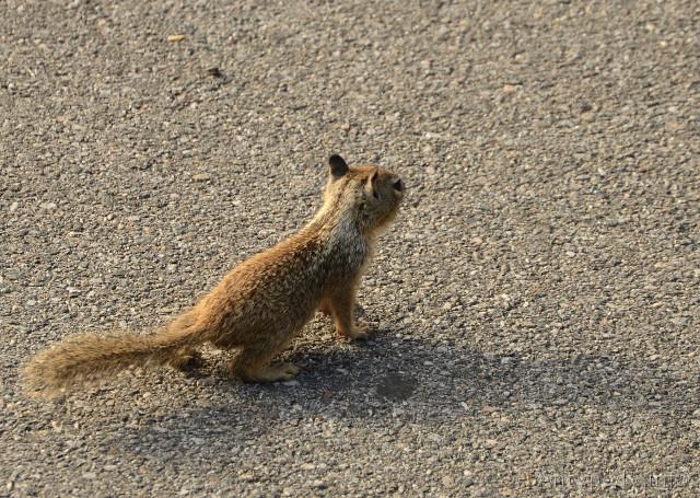 wiewiórka, Big Sur, Kalifornia, USA
