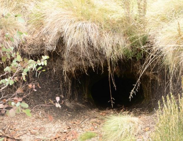 jama wombata, Mount Dunn, Mount Buffalo National Park, Victoria, Australia