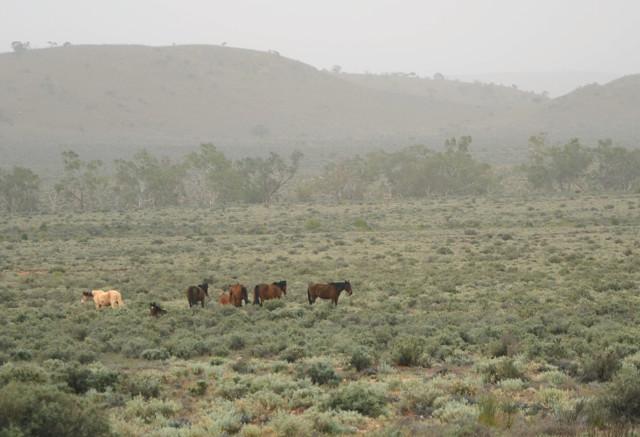 Dzikie konie w Australii: brumbies