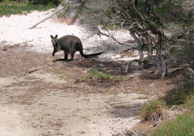 walabia, Wilsons Promontory, Australia