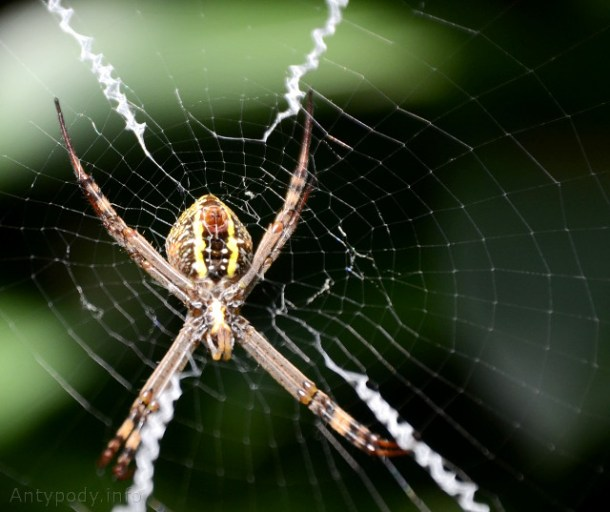 St Andrews Cross Spider, Berowra, Sydney
