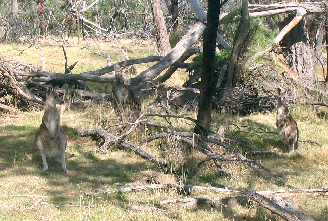 Churchill National Park, kangury