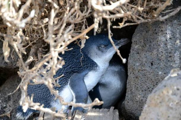 pingwin, St Kilda, Melbourne, Australia