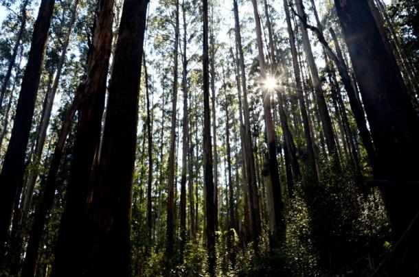 Mountain ash, Toolangi State Forest, Victoria