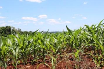 plantación maiz