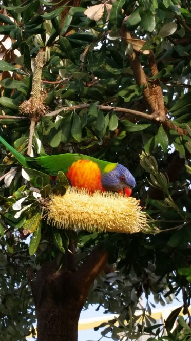 This bird is commonly found near Sydney. LOOK AT ALL THE PRETTY COLORS!!
