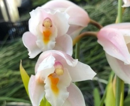 洋蘭原種 Cym.sp.(eburneum Pink type)