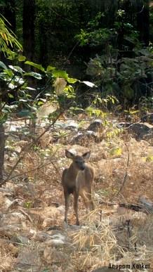 Sambhar fawn
