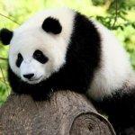 白黒もようのパンダ