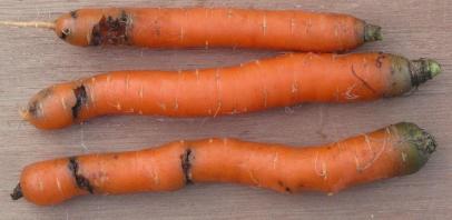 carrot_fly_01