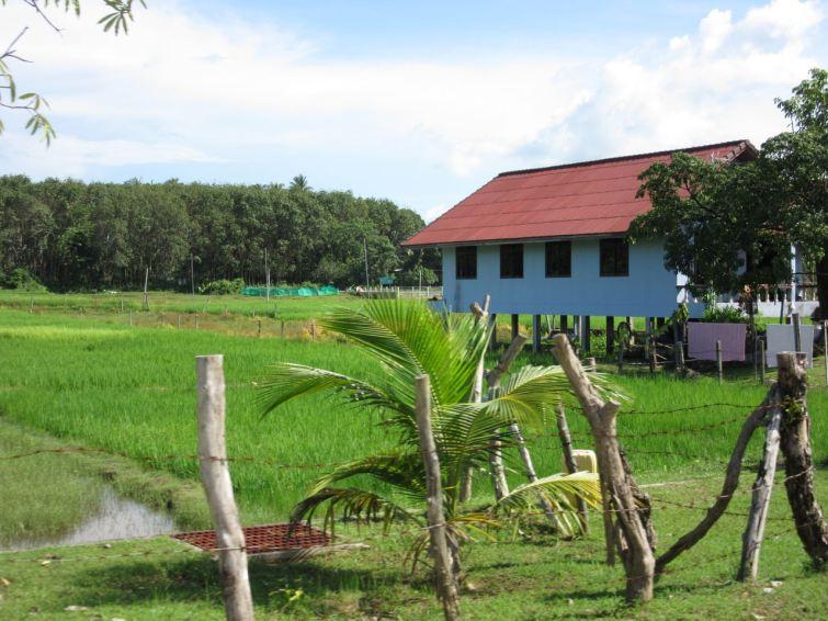 Koh Yao Noi Rice Field
