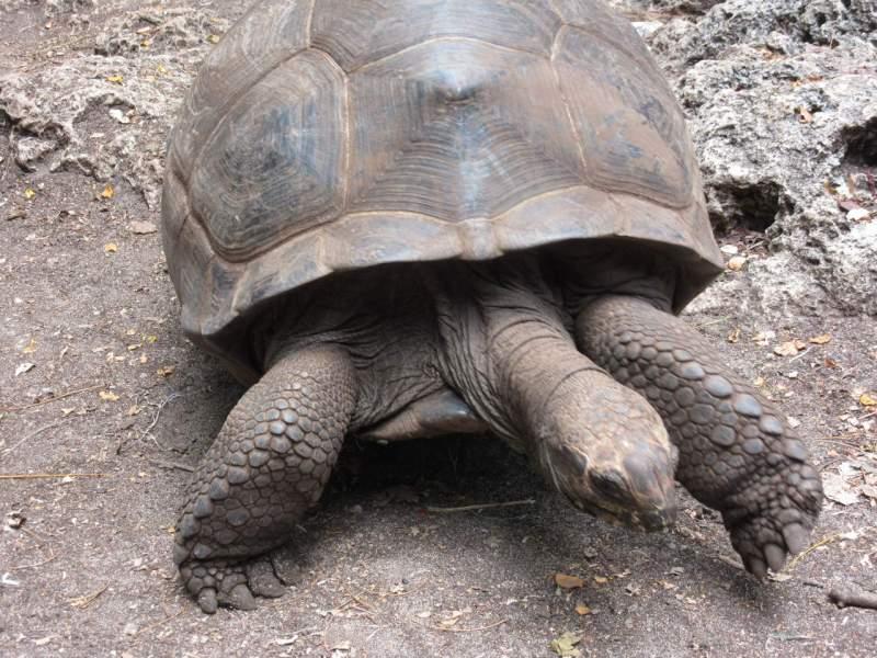 Aldabra giant tortoise on Prison Island