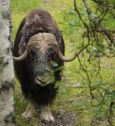 A Musk Ox (at the Polar Zoo)