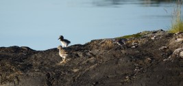 A couple of young Oyster Catchers