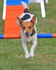 Dogfest 2014 - Agility - Jack Russell