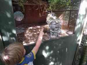 Ocelot behind glass