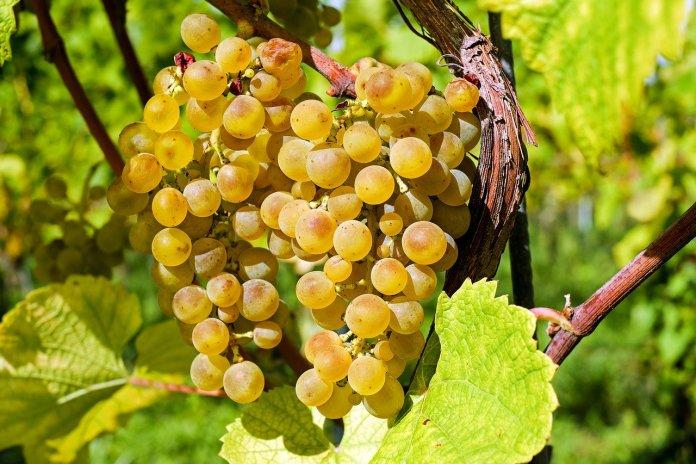 grapes-2715711_1280