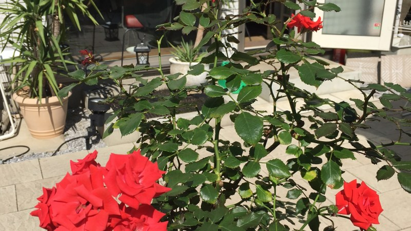 サロンの甘えん坊のバラが、今シーズン3期目の満開です♥