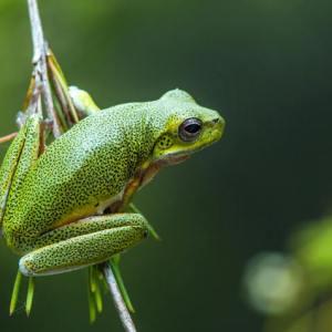 Tree frog Australia