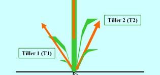 Regulation of tillering in sorghum: environmental effects