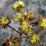 False paracarpy in Seemannaralia (Araliaceae)