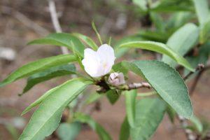 Almond flowering problem in Australia