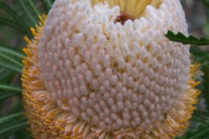 Cone age and longevity of Banksia seeds