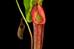 Traps of carnivorous pitcher plants as habitats