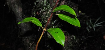 Climbing plants and deep shade in rainforests