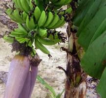 Banana fruit bunch